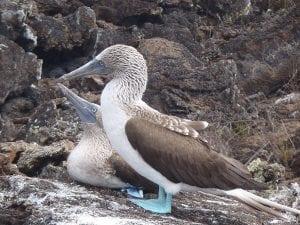 Active Galapagos Blue Boobies