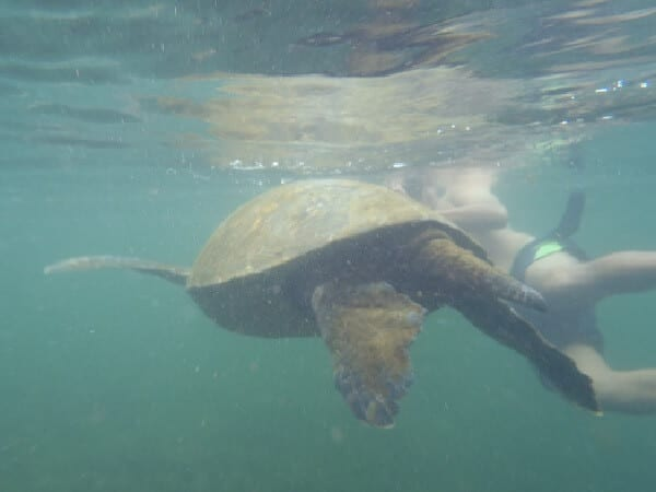 Active Galapagos Diving Turtle