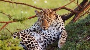 Kenya Bush Romance Leopard
