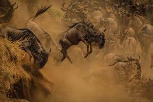 Migration Photography Safari In Maasai Mara Wildebeest Leap