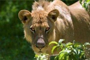 Zambian Carnivore Program 7 nights