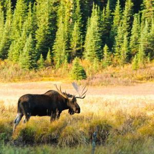 Canadian Wildlife And Vancouver Island Moose