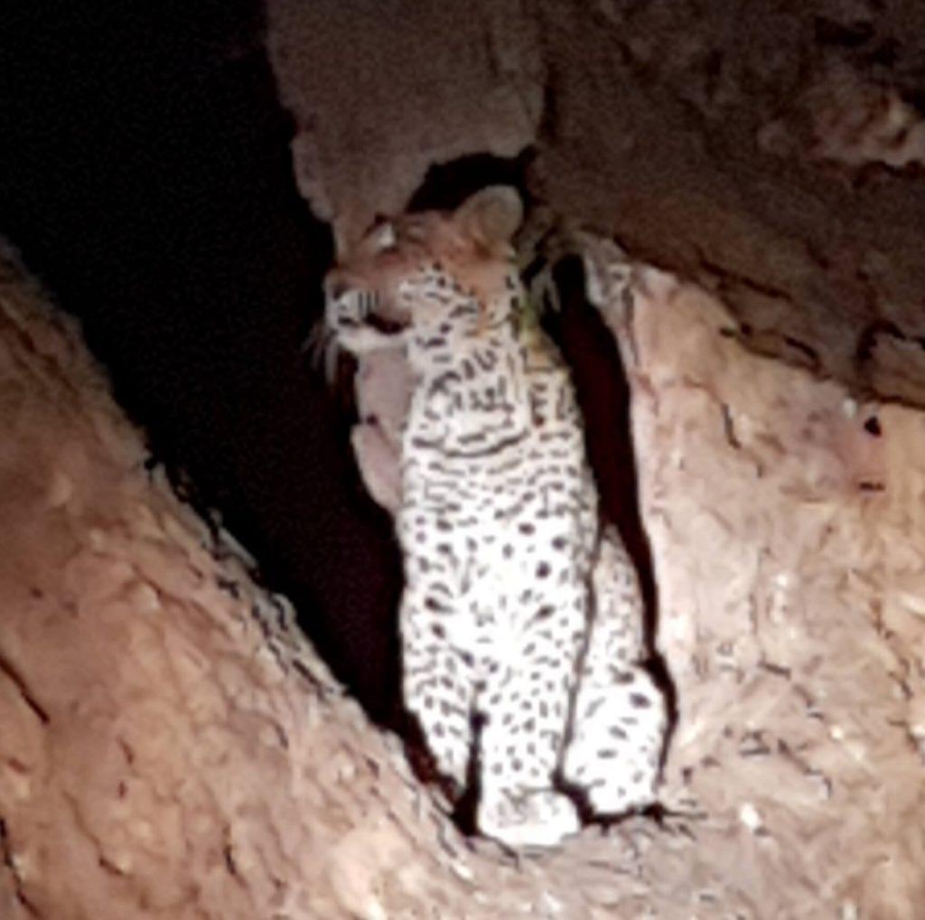 Leopard Night Drive