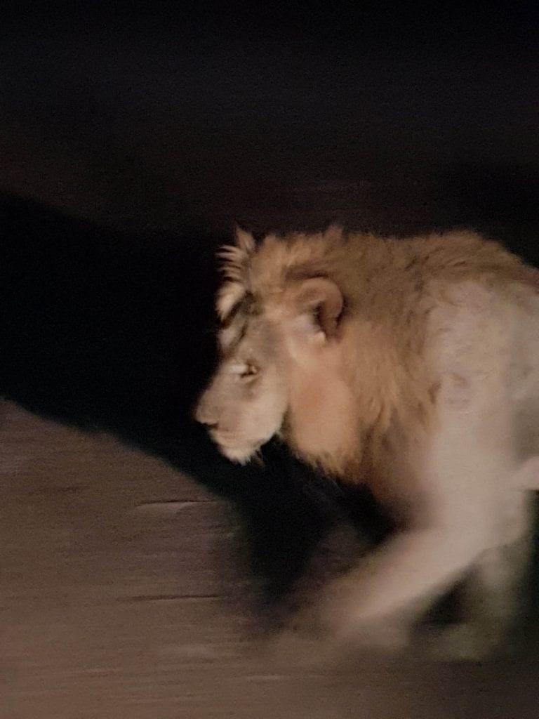 Lion Night Drive