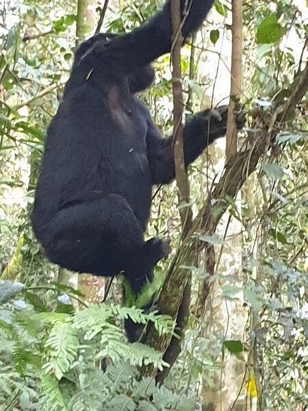 Uganda Gorilla Climbing Tree