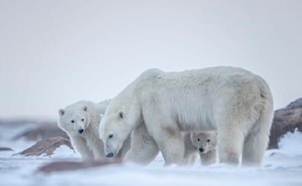 Canada Polar Bear Family