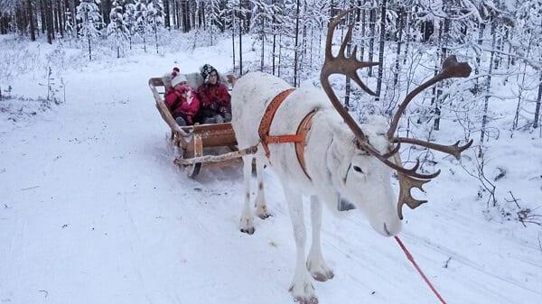 Europe Reindeer