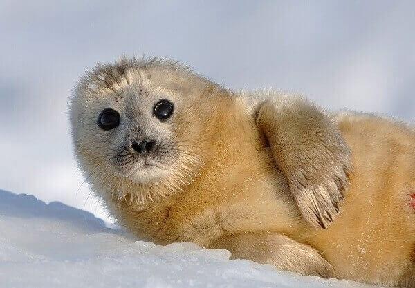 Antarctica Baby Seal