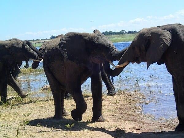 Botswana Elephants Kissing