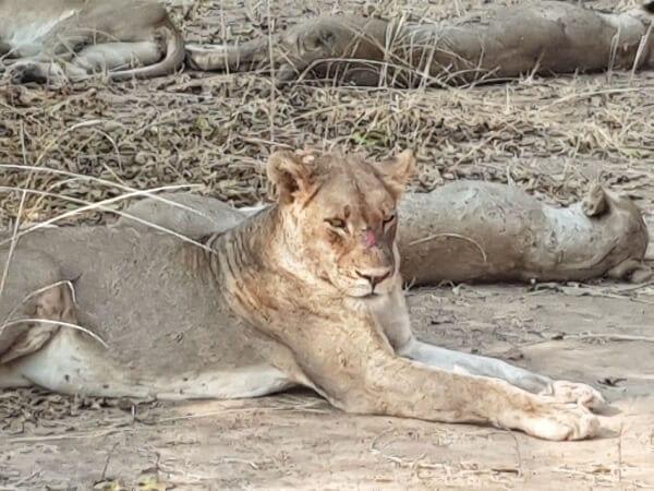 Essence Of Tanzania Lion