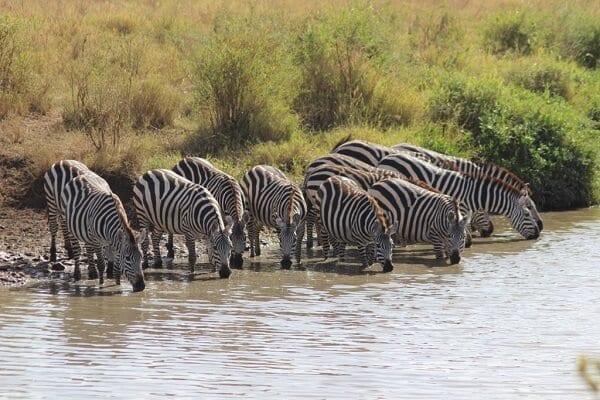 Kilimanjaro Marathon Zebras Drinking