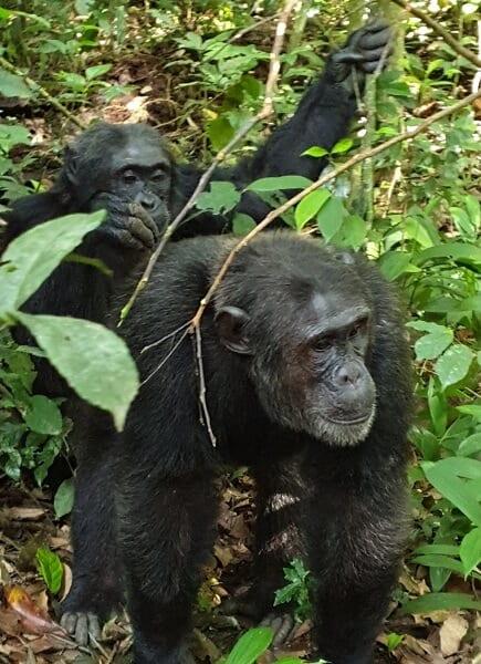 Uganda Chimpanzees Grooming