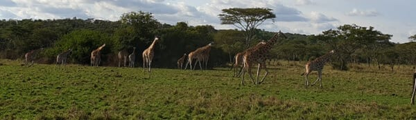Uganda Tower Giraffes