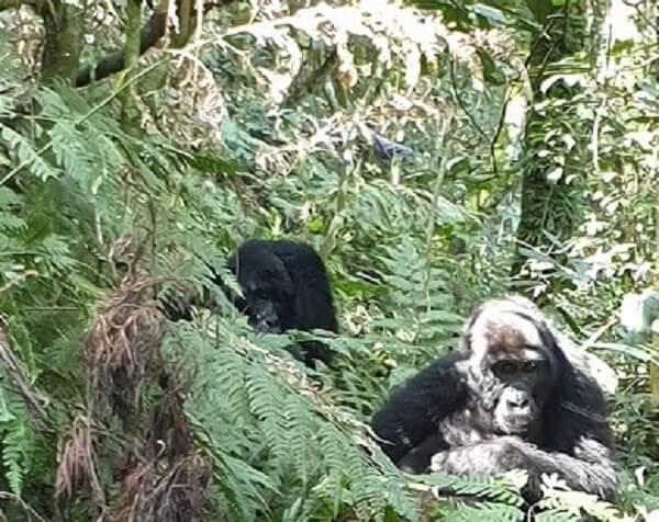 Uganda Two Gorillas