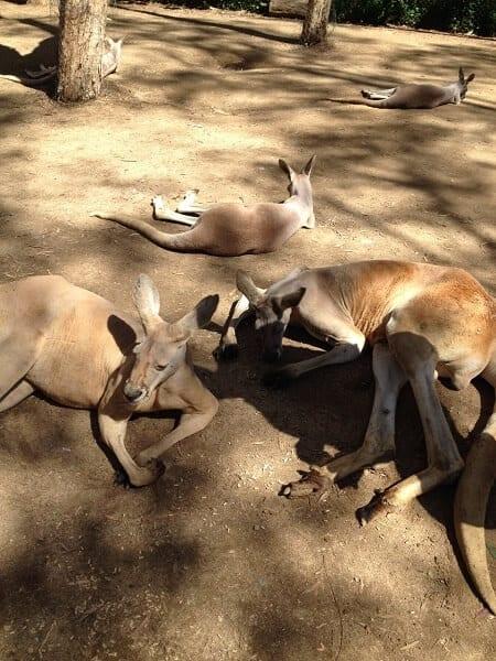 Australia Kangaroo Mob