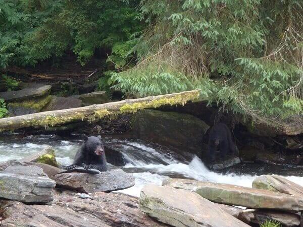 North America Bears Hunting Salmon