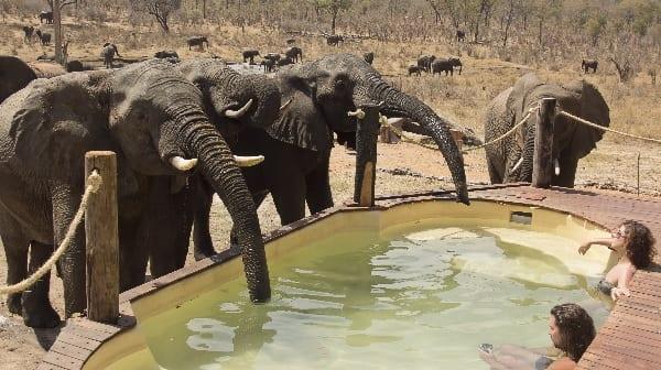 Zimbabwe Elephants Drinking From Pool